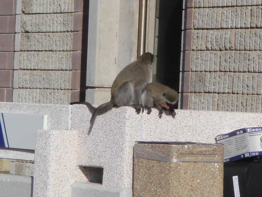 Some wild monkeys at my campus, about to dig through the trash bins.