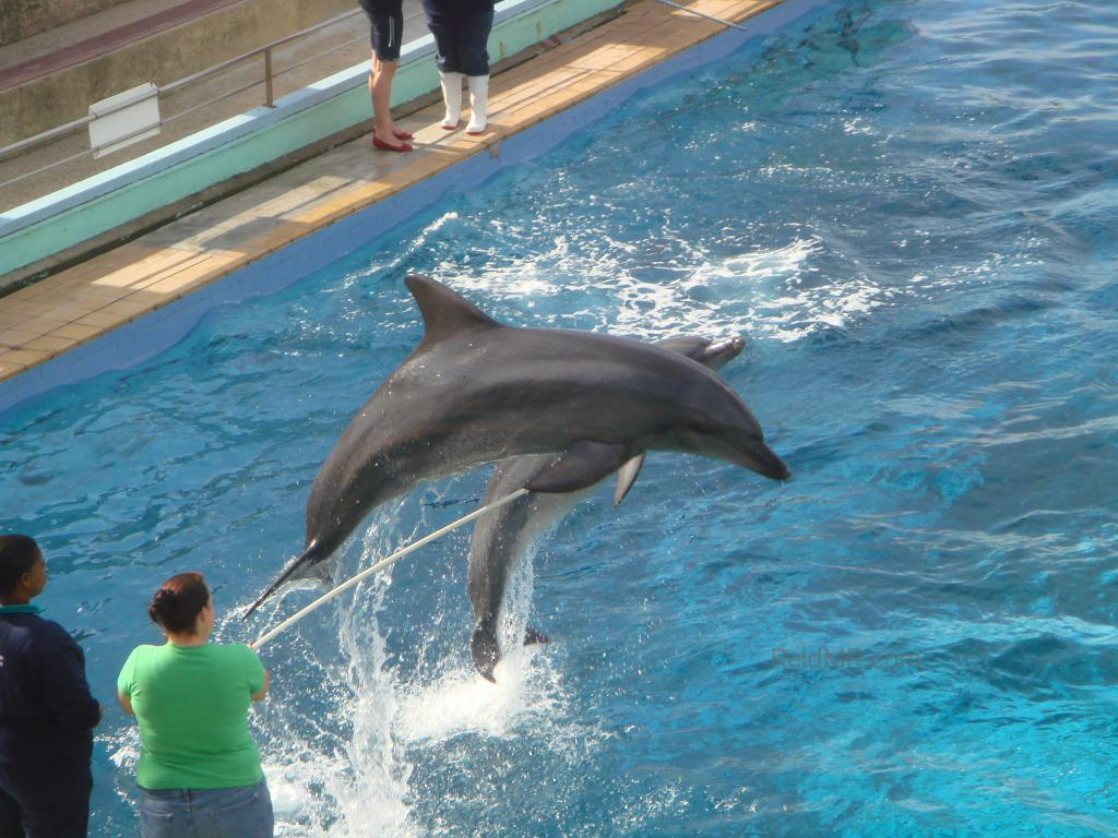 Dolphins jumping over a pole at the aquarium.