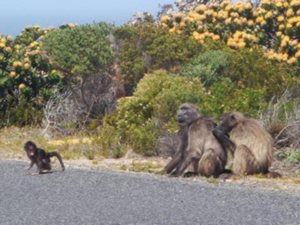Baboons on the side of the road near Cape Point, with wild yellow flowers.