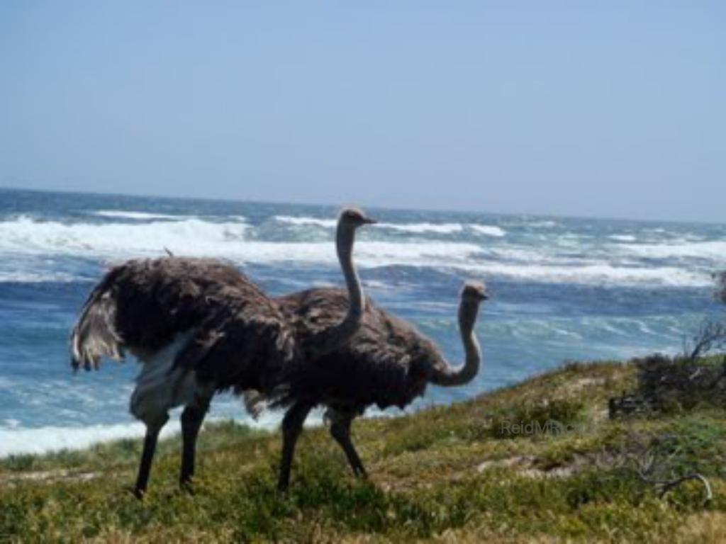 Two ostriches at Cape Hope.