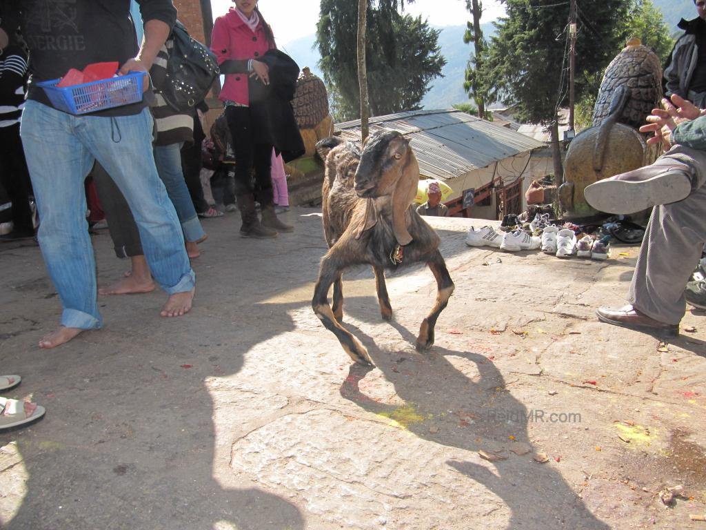 A photo of a crippled goat, it's front legs bent very clearly