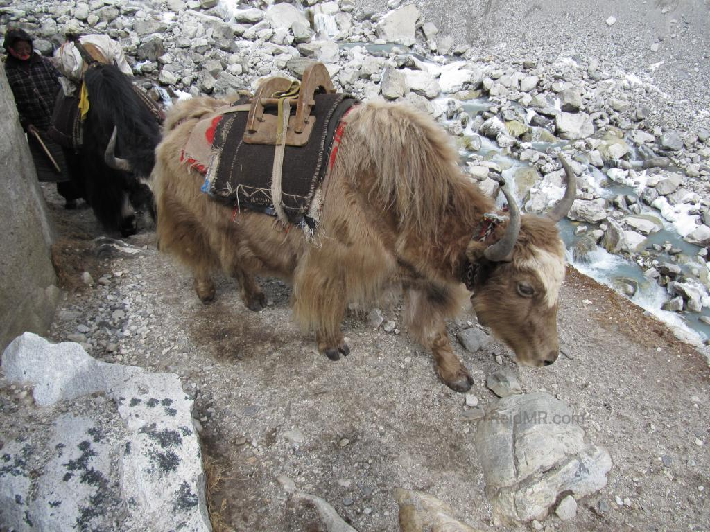 Yaks on the trail near Everest