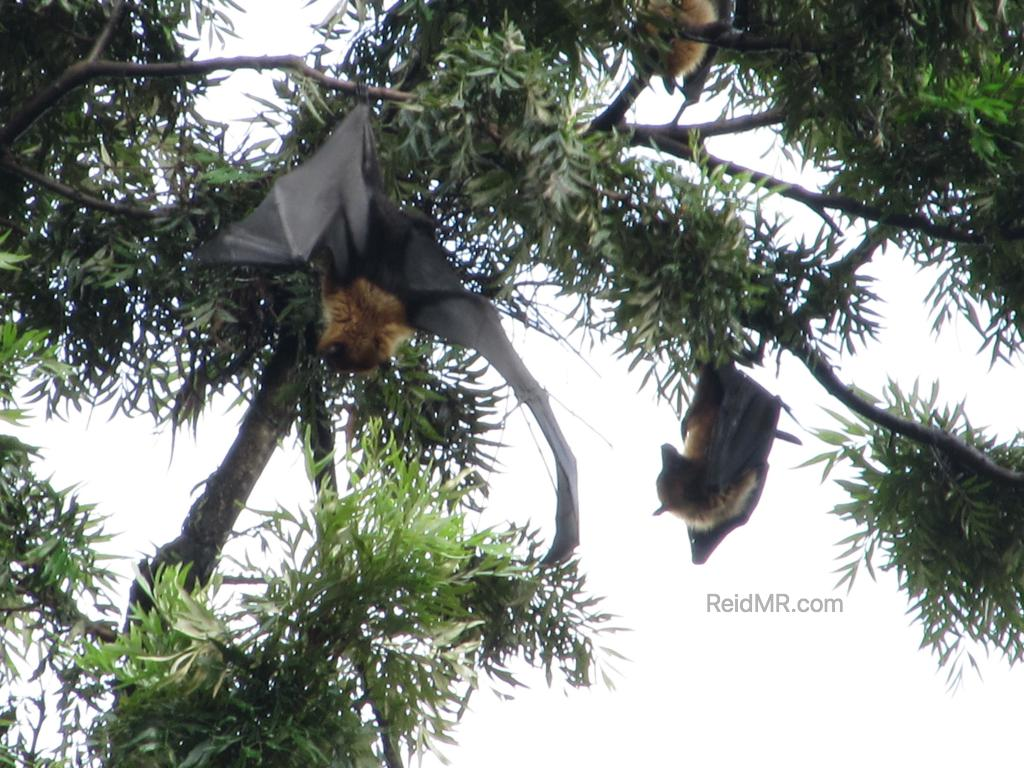 Huge bats hanging in the trees
