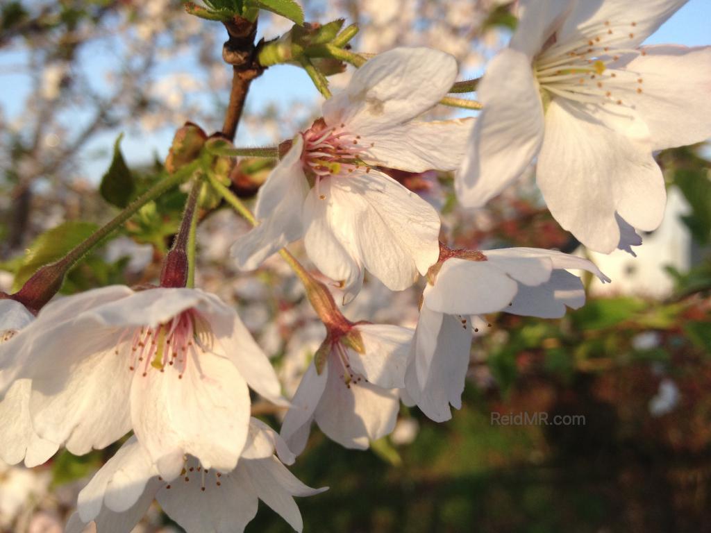 A white cherry blossom
