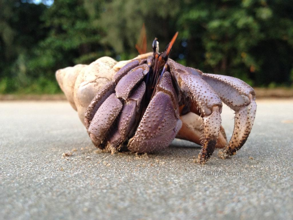 Crab coming out of the shell right on the beach