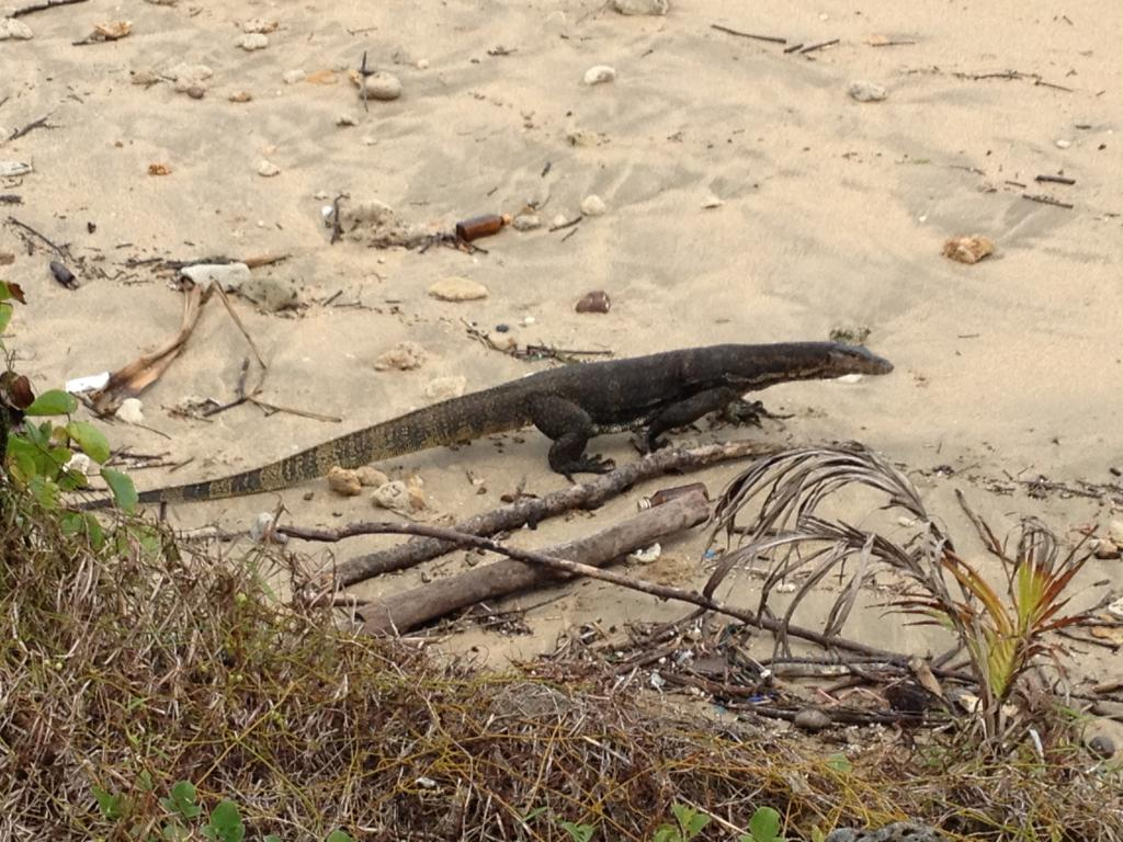 Small monitor lizard on the beach