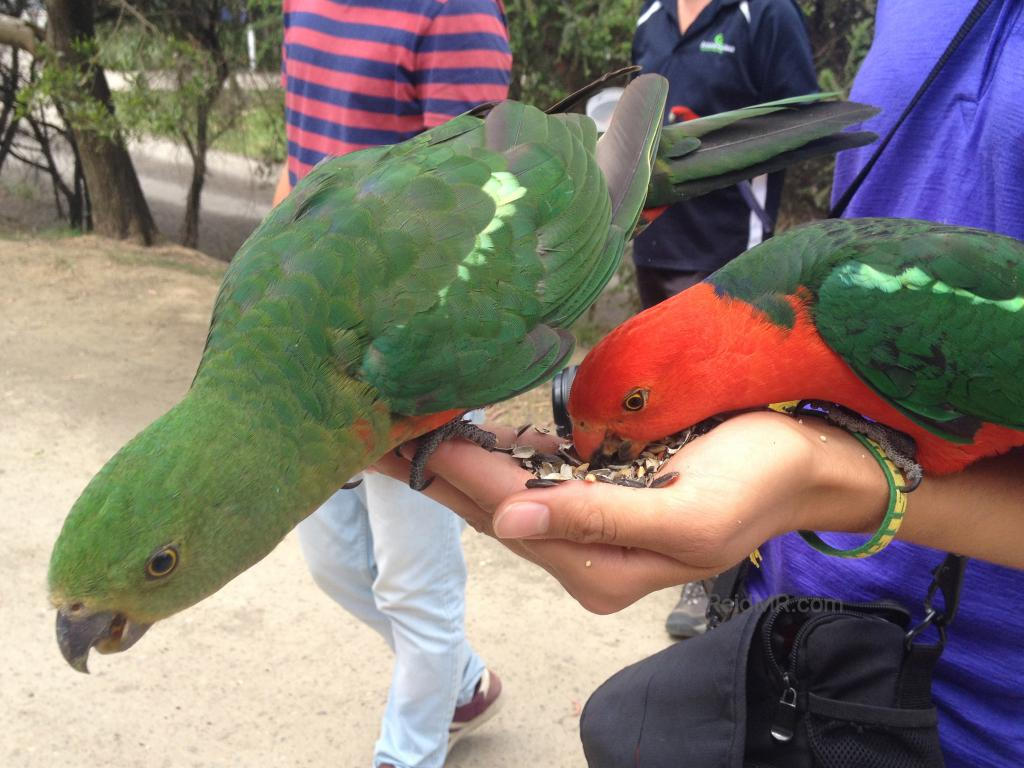 Two king parrots eating from someone's hand.