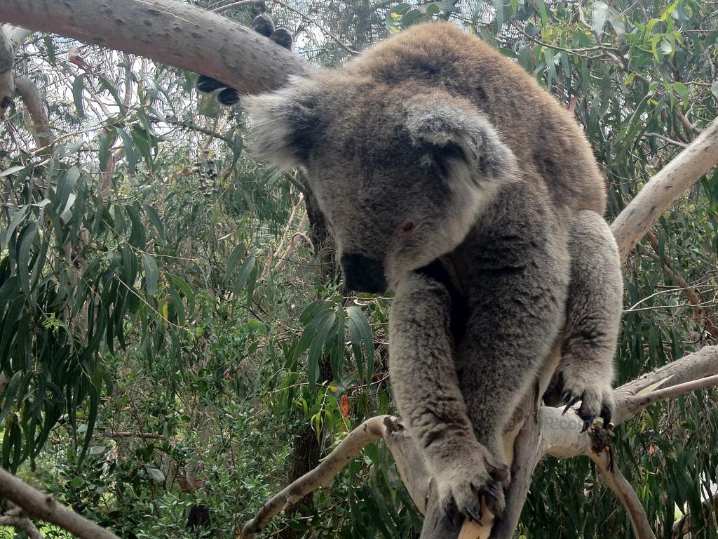 A koala sleeping up in the tree.