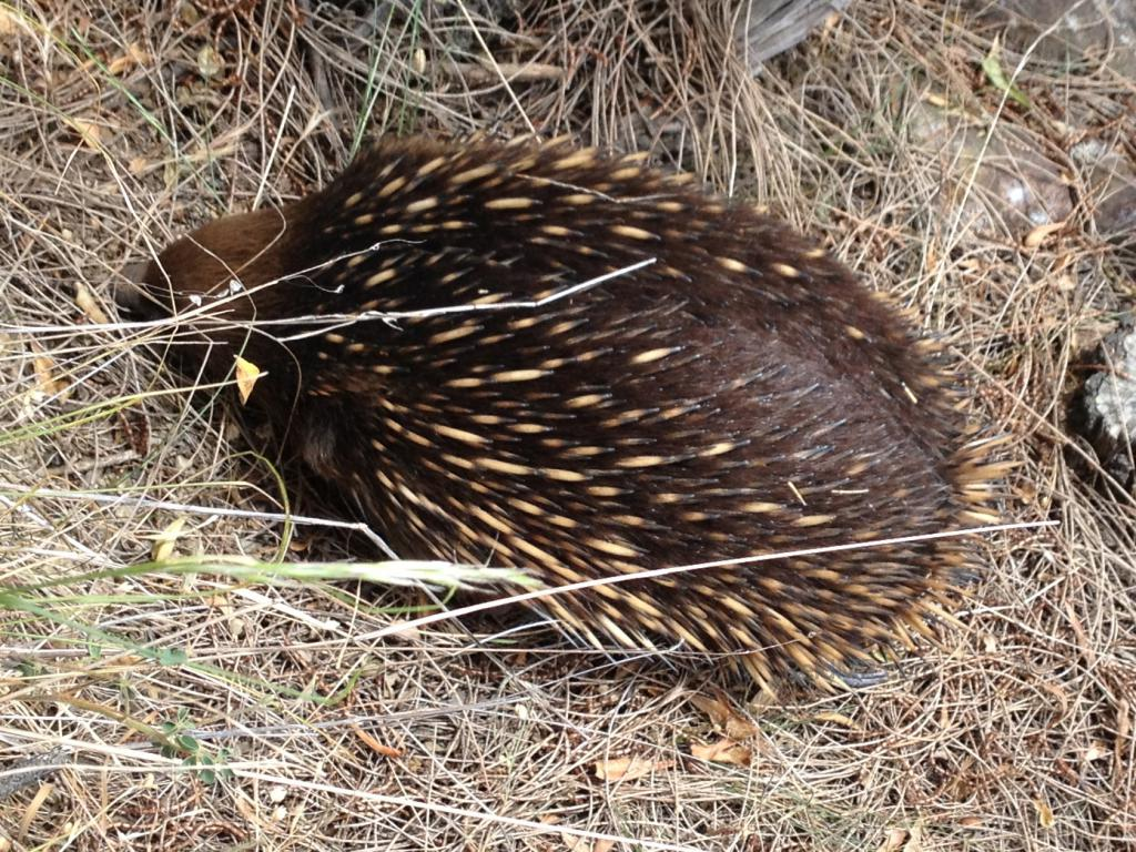 An echidna foraging in the grass.